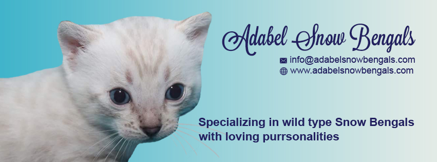 Adabel Snow Bengals Australia - Kittens